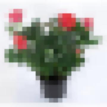 Роза Патио.