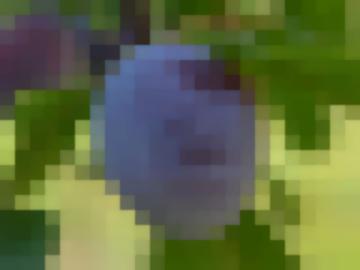 Сорт: Слива Домашняя, Яичная Синяя