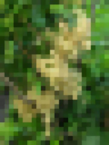 Сорт: Смородина Красная, Ютерборгская (Weisse Yuterborger)