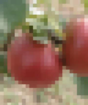 Сорт: Яблоня, Яндыковское