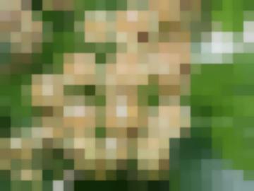 Сорт: Смородина Красная, Белая Фея (Алмазная)