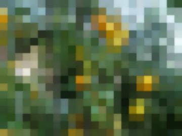 Томат Медовая Капля — Сорт Для Любителей Очень Вкусных Черри