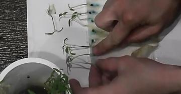 Как посадить перец на рассаду в туалетной бумаге