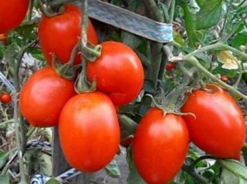 Кисть томата Рио Гранде