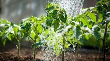 Особенности выращивания томатов