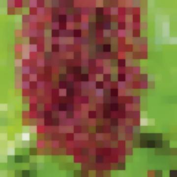 Сорт: Смородина Красная, Ильинка