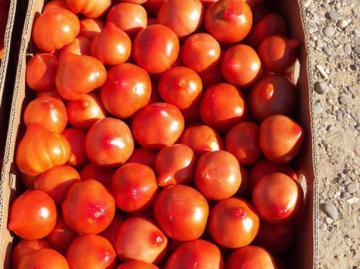 Плоды гибрида Примадонна в ящике