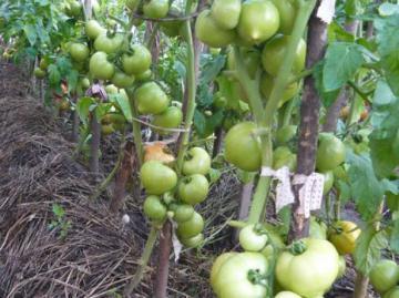Кусты томата Примадонна с плодами