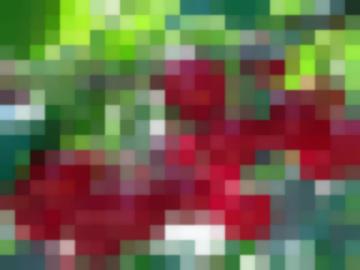 Сорт: Вишня, Шубинка