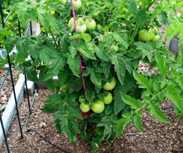 Как формировать куст томата