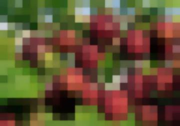 Сорт: Крыжовник, Хиннонмаен Пунайнен (Олави, Hinnonmainen Punainen, Olavi)