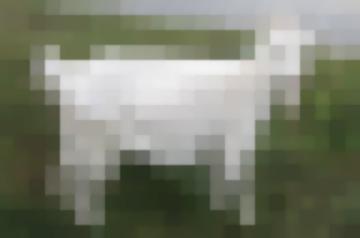 Русские Белые Козы