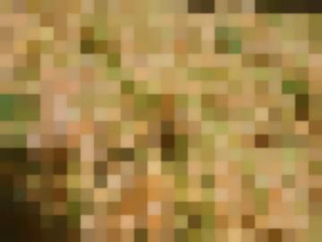 Сорт: Смородина Красная, Уральская Белая