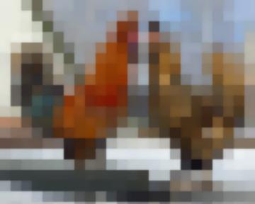 Павловская – Порода Кур