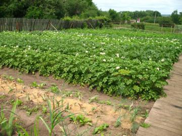 Картофельные грядки на садовом участке