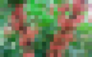 Сорт: Смородина Красная, Прыгажуня