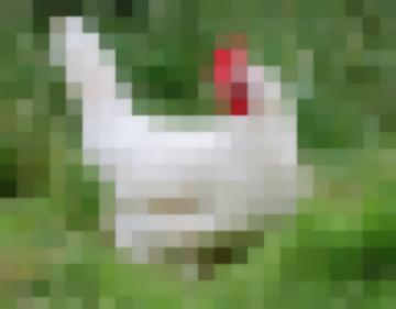 Русская Белая – Порода Кур