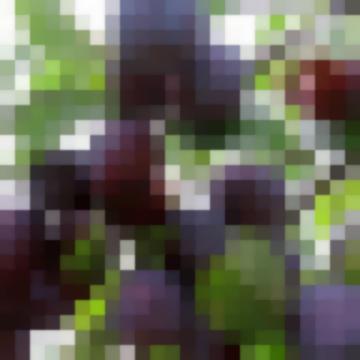 Сорт: Алыча, Пурпуровая