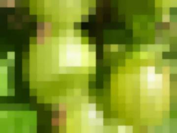 Сорт: Крыжовник, Челябинский Зелёный