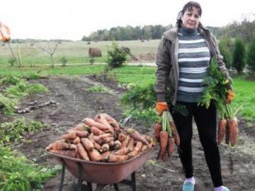 Собранный урожай моркови Королева осени