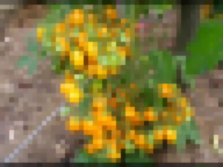 Томат Карамель жёлтая