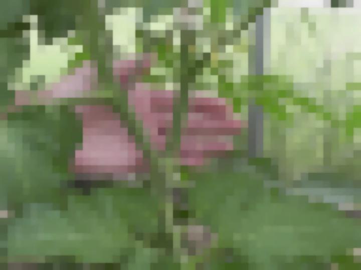 Куст томата в два стебля